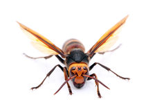 Live big hornet. On white background Stock Photography
