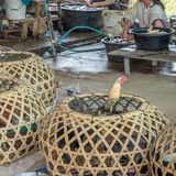 Live birds next to freshly slaughtered birds. Laos livestock mar royalty free stock images