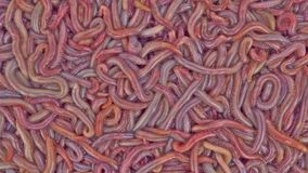 Live bloodworms Royalty Free Stock Image