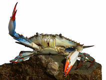 Live blue crab in a fight pose Royalty Free Stock Images