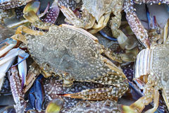 Live blue crabs Stock Photo