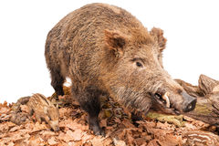 Live boar on white Stock Photo