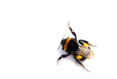Live bumblebee on white background Stock Photography