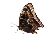 Live butterfly on white royalty free stock photo