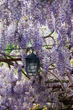 Live canopy of wisteria. Lantern living under a canopy of wisteria Stock Photography