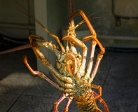 A live  caribbean lobster ready for the pot. A langouste being held up by an antenna at mac's pizzeria in the west indies Stock Photos