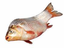 Live carp close up isolated Royalty Free Stock Images