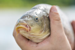 Live carp in fisherman hands. Fishing concept Royalty Free Stock Image