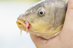 Live carp in fisherman hands. Fishing concept Royalty Free Stock Photos