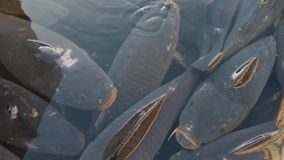 Live carp in the tub stock video footage