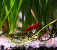 Live Cherry Shrimp royalty free stock image