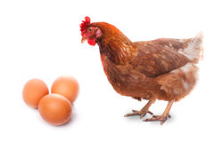 Live chicken bird redhead looks at three eggs isolated on white Stock Photography