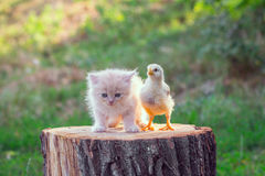 Live chicken with kitten Stock Photography