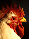 Chicken laying egg close up - photo#26