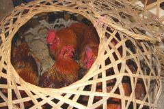 Live chickens cause outbreaks of Sars, H7N9, H5N8 and H5N1 viruses into China, Asia, Europe and the USA Stock Photos