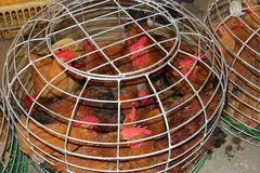 Live chickens can transfer Sars virus and the H7N9 virus in China, Asia, Europe and the USA Royalty Free Stock Image