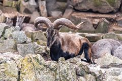 Live Chinese Bharal. Resting on the rock Royalty Free Stock Photography