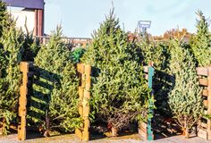 Live Christmas trees for sale in a city lot arranged according to size and type. In city christmas tree lot stock photography
