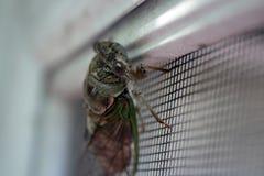 Live Cicada sur la porte grillagée image stock