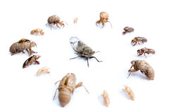 Live Cicada surrounded by old skeletons Stock Photography