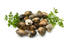 Live clams. In isolated white background Royalty Free Stock Image