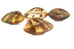Live clams Stock Photo