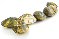 Live clams Stock Images