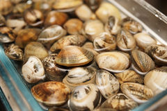 Live clams in water, close-up. Live clams in glass jar with water, close-up Royalty Free Stock Photos