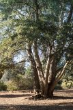 Live coast oak tree, tall healthy coastal evergreen oak, forest in southern california, vertical. Live coast oak tree, tall healthy coastal evergreen oak with stock photo