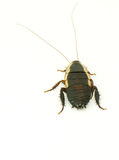 Live cockroach  Royalty Free Stock Photography