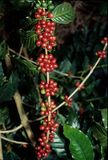 Live coffee beans tall. Live coffee beans on the bush Royalty Free Stock Image