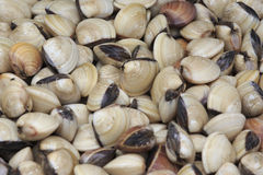 Live Common Orient Clams Stock Photos