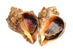 Live conch royalty free stock images