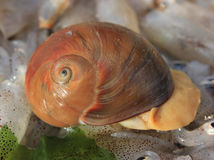 Live conch. Fish  background Stock Image