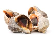Live conch Royalty Free Stock Photography