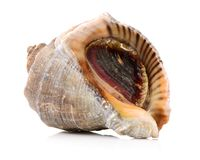 Live conch. Isolated on white background Stock Photos