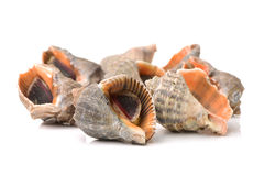 Live conch Royalty Free Stock Photo