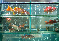 Live Coral Fish. Live coral trout fish in aquarium display on a restaurant window Royalty Free Stock Photos