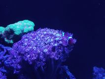 Live coral in a saltwater aquarium. Nature and fauna, underwater view, sea and ocean ecosystem stock image