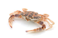 Live crab Royalty Free Stock Image