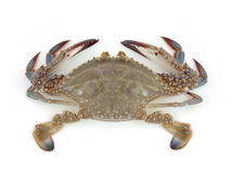 Live crab Stock Image