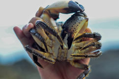 Live crab in female hands Stock Images