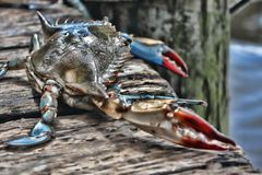 A LIve Crab on a Dock in Florida royalty free stock photo