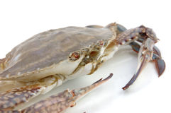 Live crab macro Stock Images