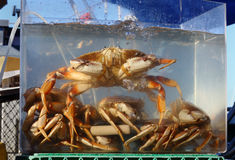 Live Crab for Sale Royalty Free Stock Photo