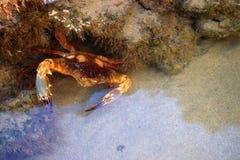 Live Crab subacuático entre Coral Reef Colonies Fotografía de archivo libre de regalías