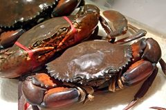 Live crabs. Live bound crabs ready for cooking selection Royalty Free Stock Images
