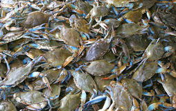 Live Crabs. Live Blue Crabs Stock Photos