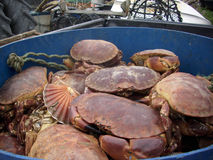 Live crabs and shellfish. In a blue tub. Destined for a local restaurant. Freshly landed from a fishing boat. Crab pots, boats and nets in the background Stock Photos