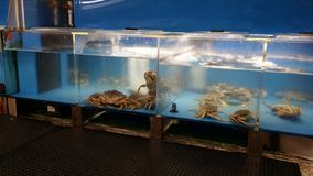 Live Crabs. Crabs swimming in the aquarium royalty free stock photography
